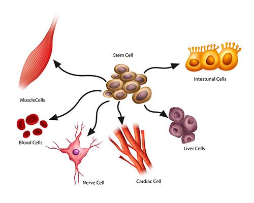 Celule stem